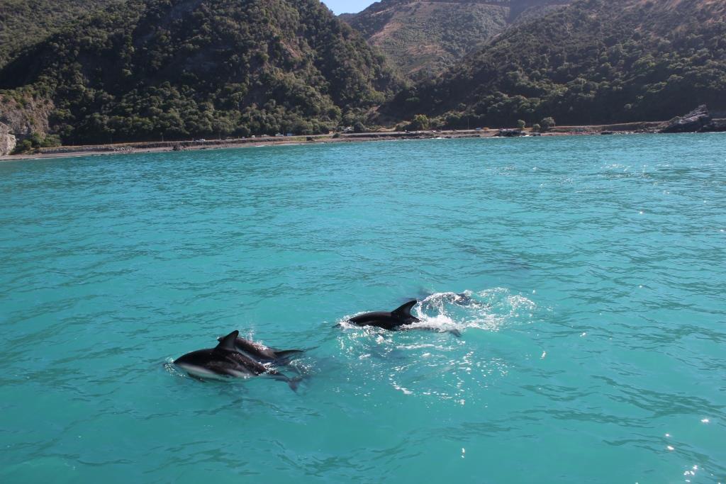 dolphins kaikoura new zealand