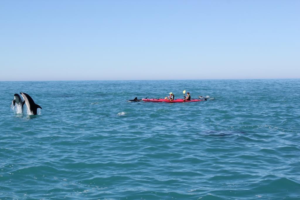 kaikoura dolphin kayaking